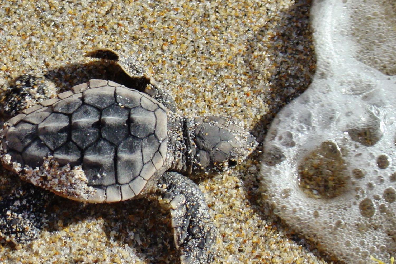 Kosi Turtles
