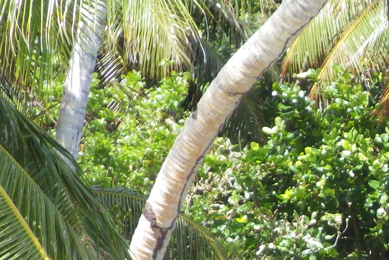 Kosi Bay Giant Raffia Palm or Raphia Australis.